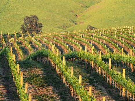 Napa Vineyard at Sunset, California