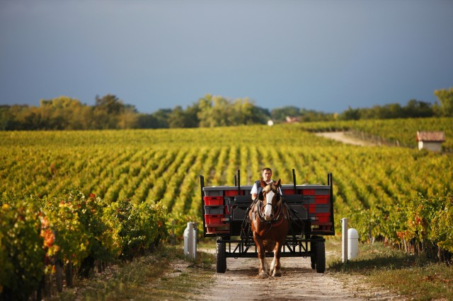 A horse ploughs the vineyard at Pontet-Canet