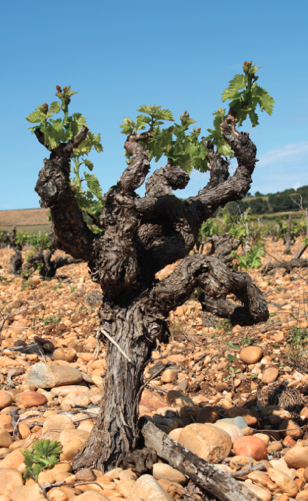 Stoney vineyard in France