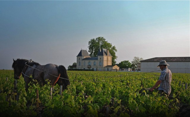 A horse ploughs the vineyard at Château Margaux