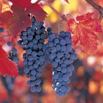 Chile-Grapes