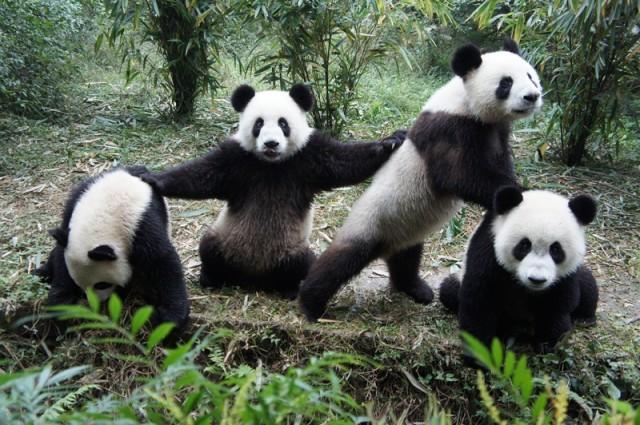 Under threat? The Chengdu giant panda base in Sichuan