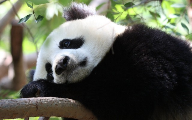Planting in the Chinese provinces of Shaanxi and Sichuan is putting giant panda habitats at risk