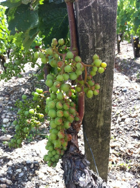 Grape damage at Lafite caused by the storm