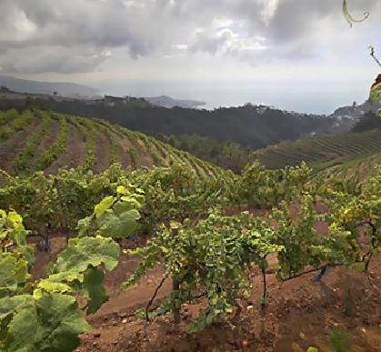 Henriques & Henriques vineyards in Madeira