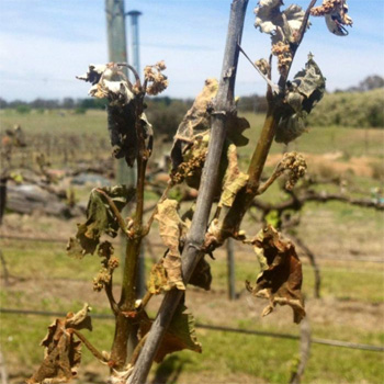 Frost damaged crops in Murrumbateman