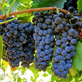 Petite Sirah grapes