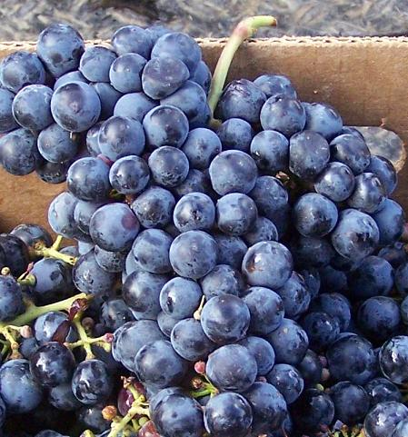 Cab_Franc_grape