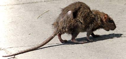 Dirty-rat-on-the-street