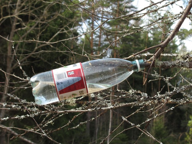 The simplest way to collect birch sap is to cut off a branch and let the sap drip into a bottle.