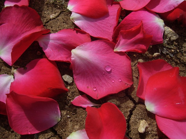 rose-18555_640