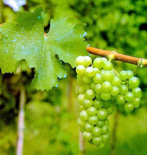 Top seven best value Sauvignon Blancs