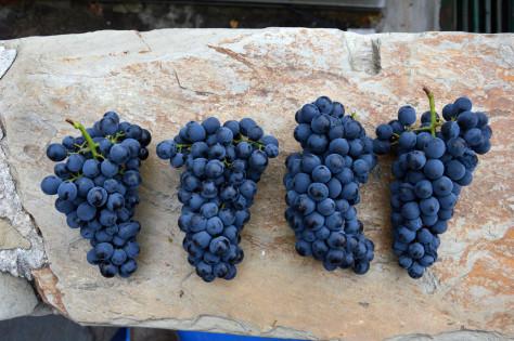 Touriga Nacional grapes from the Malvedos Stone Terraces
