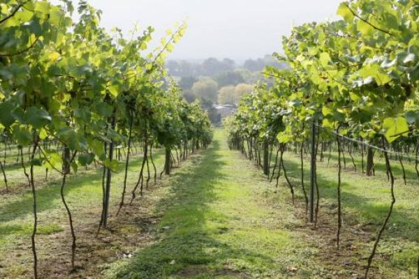 'Huge' potential of English Pinot Noir remains 'untapped'