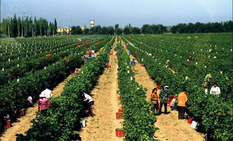 Changyu vineyard