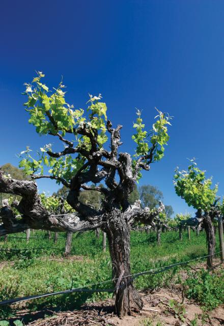 An-Old-Vine