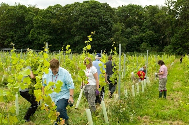 Forty Hall Vineyard in Enfield, north London, is a not-for-profit organisation using profits from wine sales to help fund social enterprise projects (Photo: Forty Hall Vineyards)