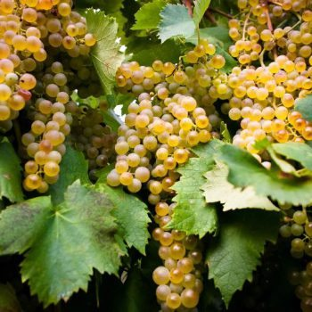 Soave's native Garganega grapes