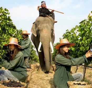 elephant-hua-hin-vineyard