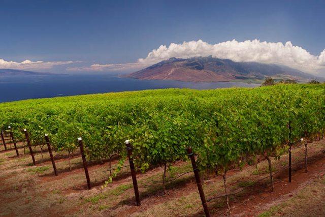 maui-vineyards-with-volcanic-landscape