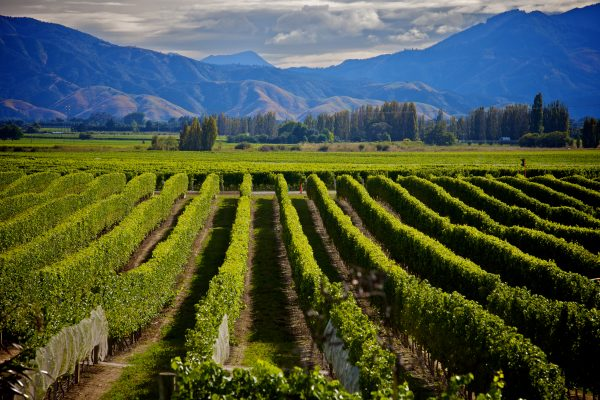 Research maps consumer preferences in New Zealand Sauvignon Blanc