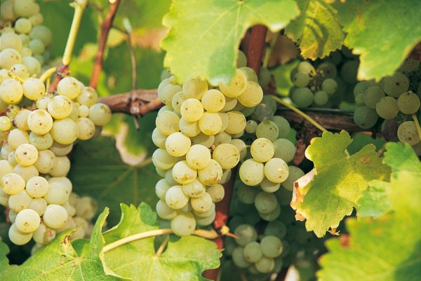 Low ABV wine production methods 'could be used' to tackle climate change