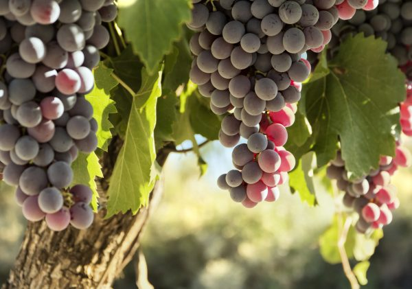Here are eight of Chile's best Carmenère wines