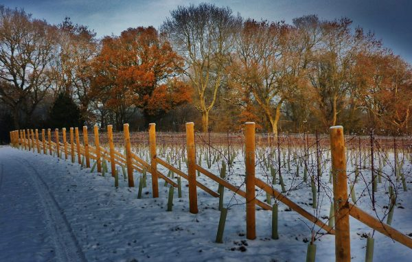 An English vineyard diary: February 2021