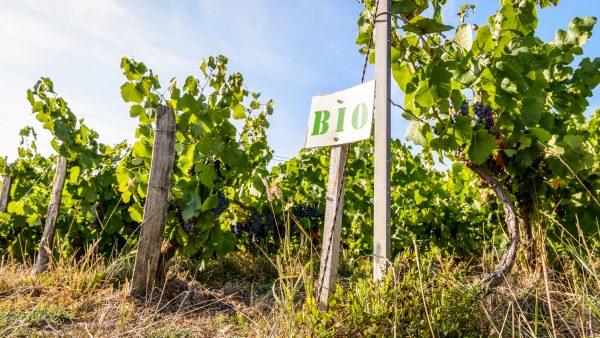 Study of 200,000 wine scores shows organic wines 'taste better'