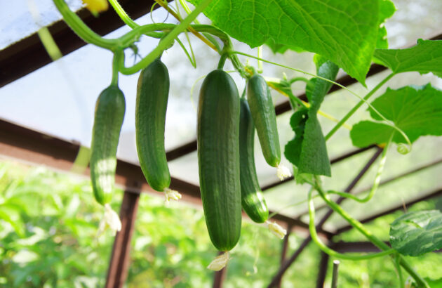 Hendrick's challenges drinks trade to grow their own cucumbers