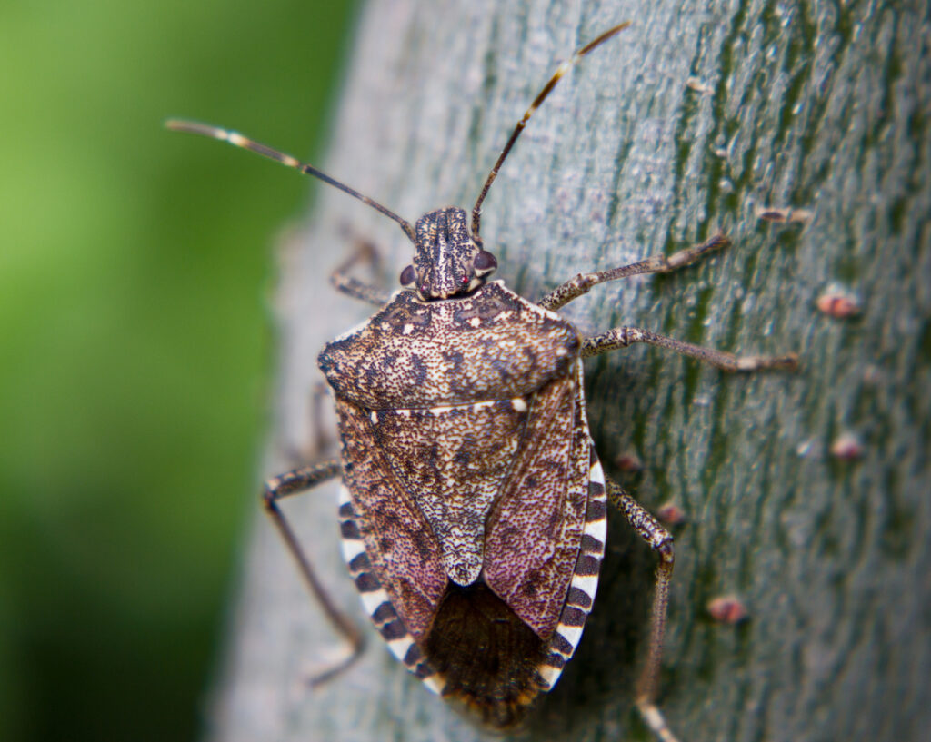 A close up of a stink bug
