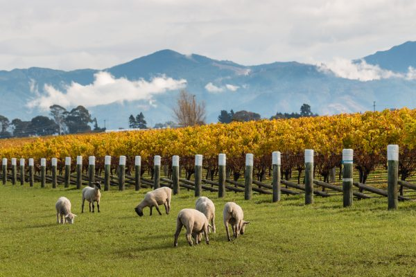 'Significantly smaller' NZ 2021 vintage creating supply tension