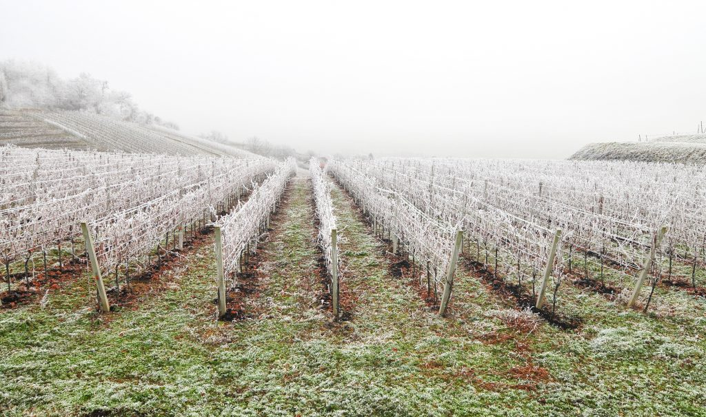France's wine output this year: spring frosts