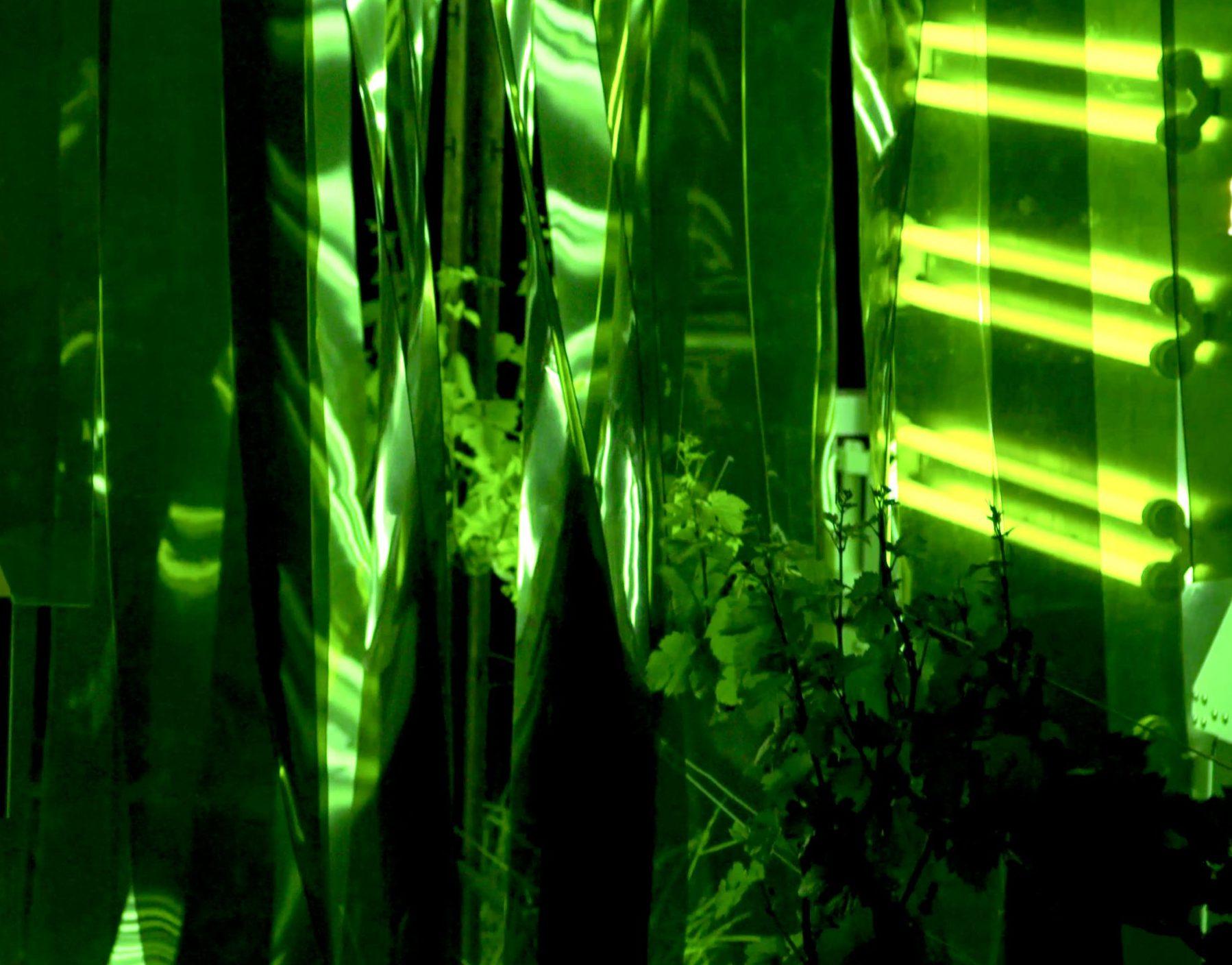 Vines under UV-C light