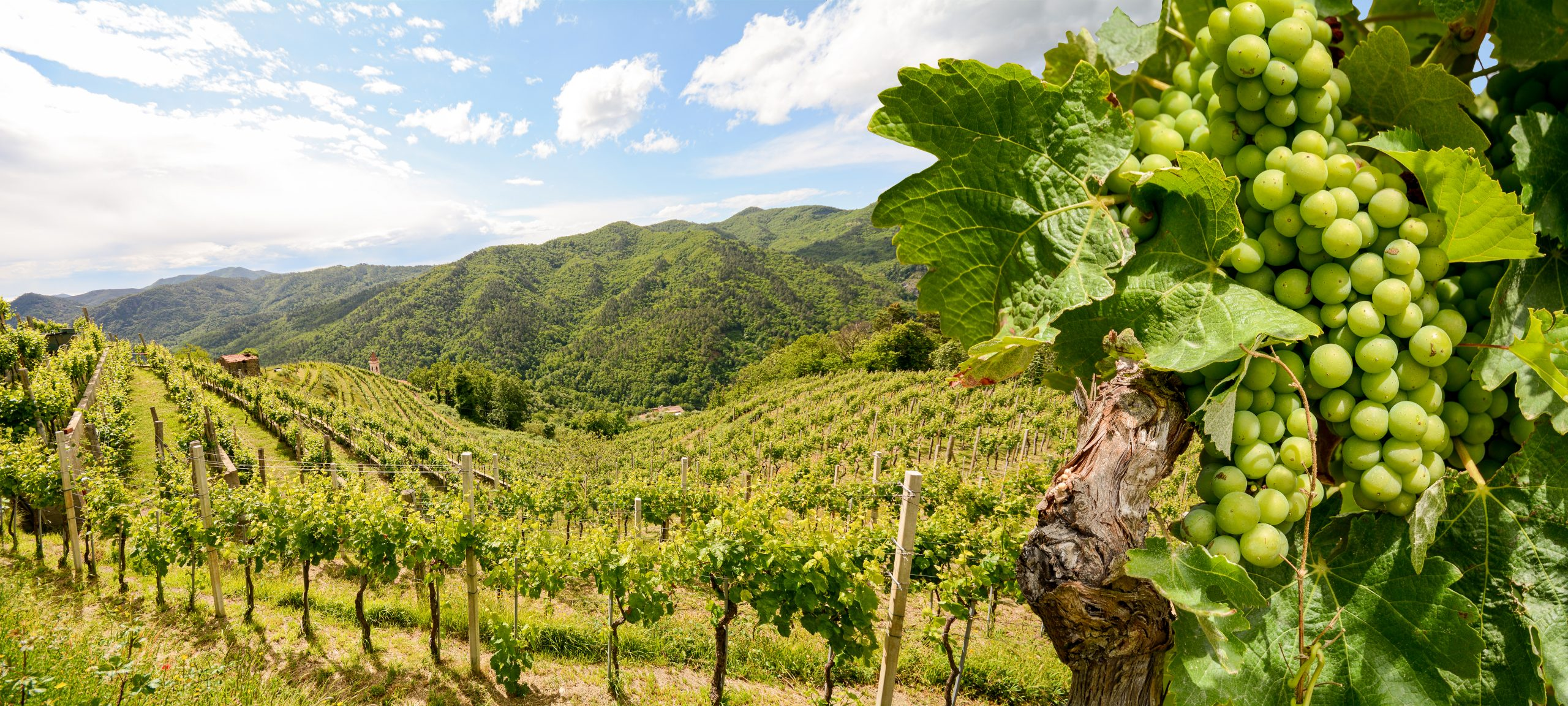 hilly vineyards: sustainable wine roundtable founded to fight climate change
