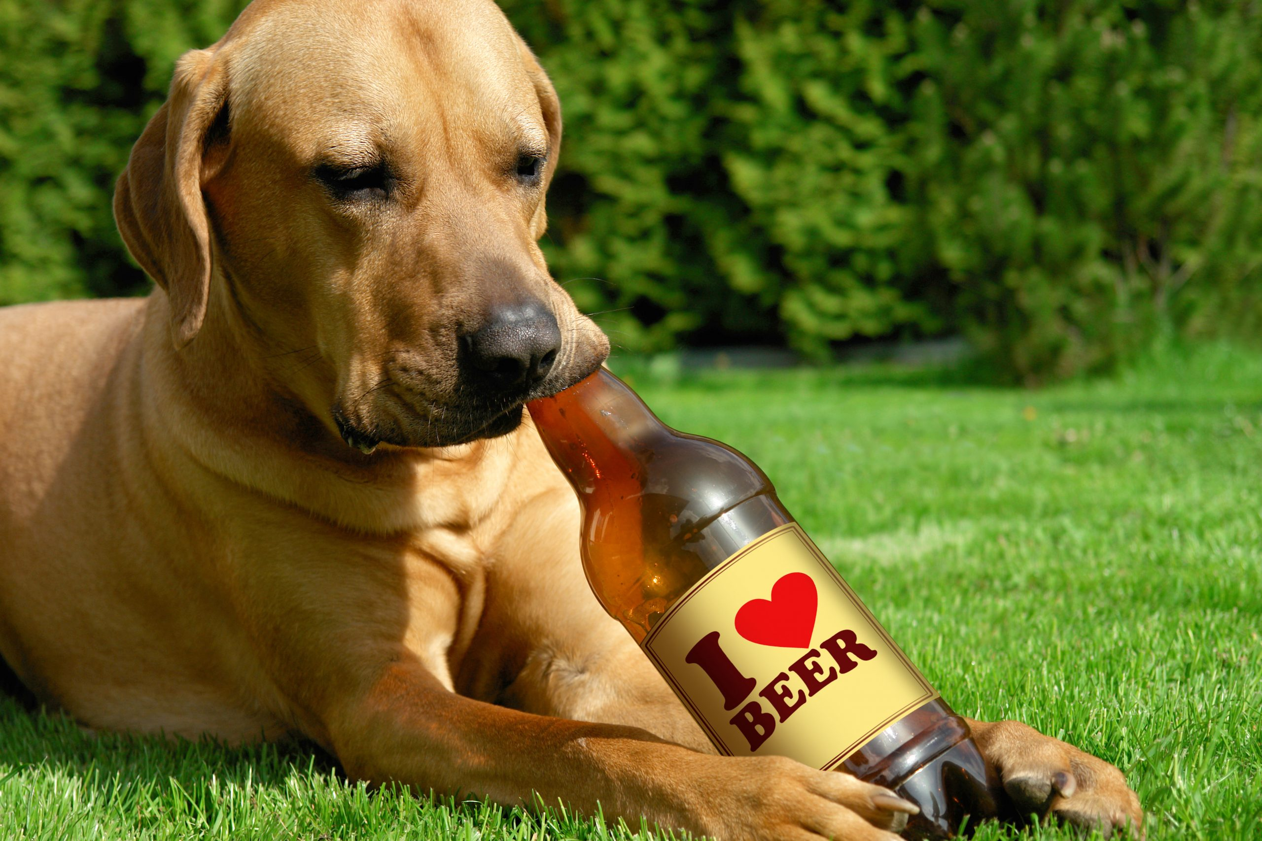 dog lying in grass drinking bottle of beer: Canine cuisine: Welsh pub serves food and beer for dogs