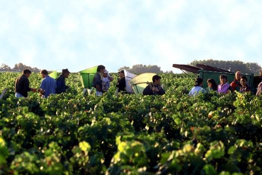 Lafite-harvest-season High
