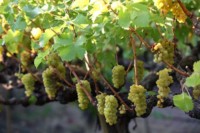 Beckstoffer's Melrose vineyards in the Napa Valley