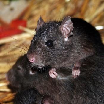 635px-Rat_-_560688043
