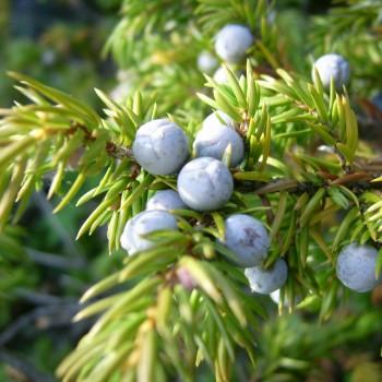 Common_juniper_berries_(Mica_B)