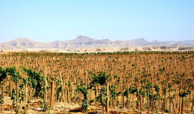 09.Sahara-Vineyards.Unusual_Vineyards