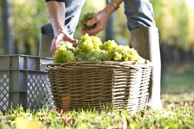 white-grape-harvest