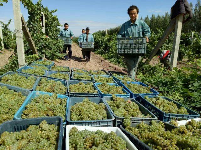 Harvest at Xuan Yan