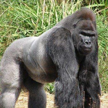 jock_the_gorilla-350x350